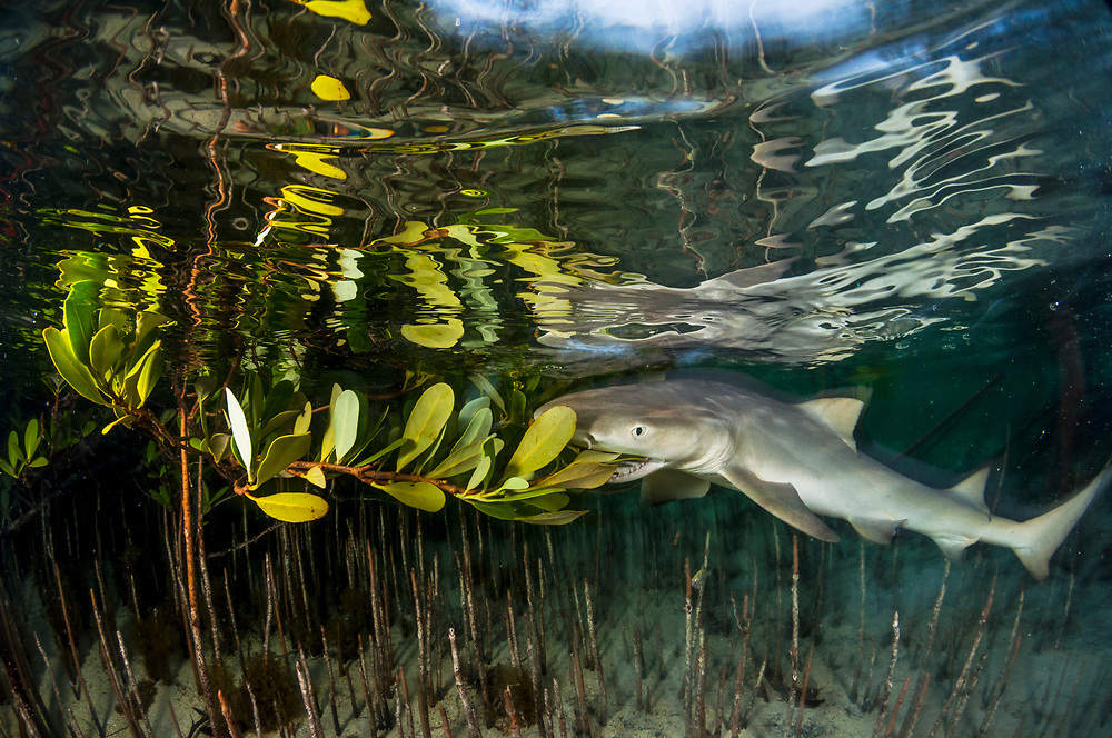 Although lemon sharks are born hunters, they are still learning as they go. This one tastes a mangrove leaf to see if she likes it. She didn't.