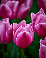 Pink tulips. Tulip festival at Keukenhof Gardens in Lisse, Netherlands. Image taken with a Nikon D4 camera and 80-400 mm VR lens.
