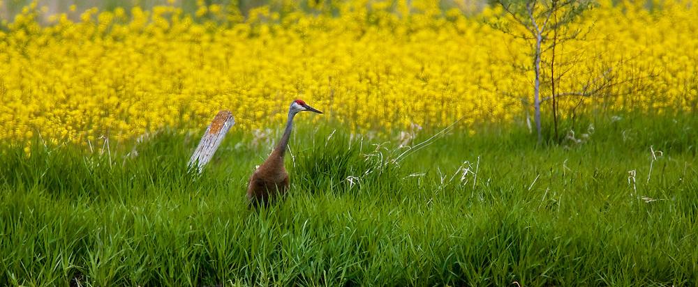 A Sandhill Crane walks through tall grass and prairie flowers in early spring.  Photo by Tom Lynn
