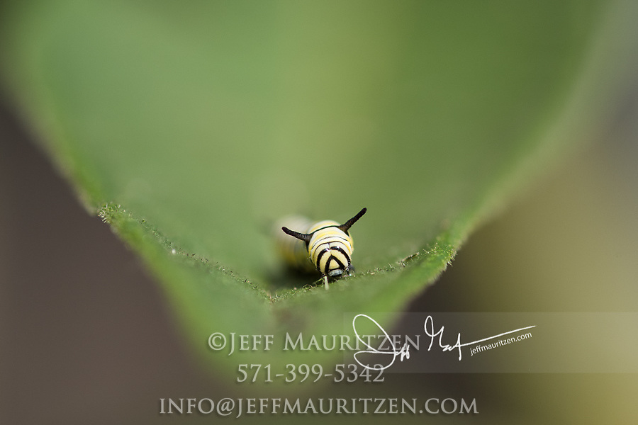 A Monarch catepillar's head comes close to the edge of a leaf on a Swamp milkweed plant.