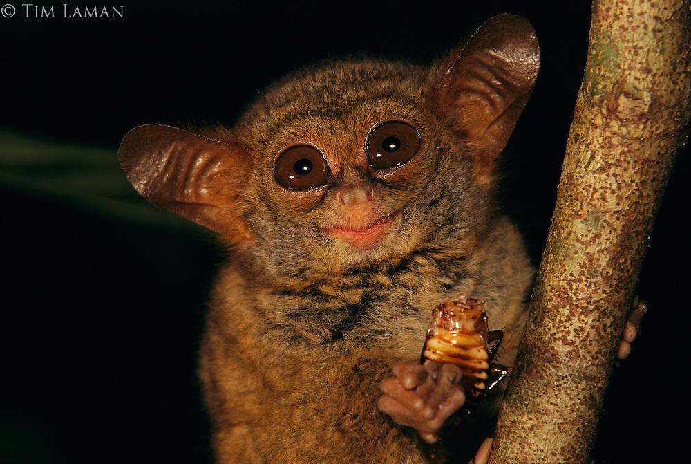 A tarsier, Tarsius spectrum, eating a cockroach at night..Tangkoko-Duasudara Nature Reserve, Sulawesi, Indonesia.