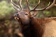 close up of a bull Elk picking up the scent of a female