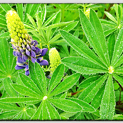 "Morning dew on lupine in a Portsmouth, New Hampshire garden. iPhone photo - suitable for print reproduction up to 8"" x 12""."