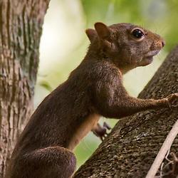 Roedores (Ratos, Esquilos, Capivaras, Preás, Pacas, Cutias e Ouriços) - Rodentia / Rodents
