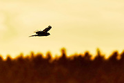 Silhouette of a Northern Harrier -Circus cyaneus in flight at sunset