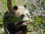 Giant Panda, Ailuropoda melanoleuca, Giant Panda Research station