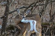 Whitetail Doe in Wooded Habitat