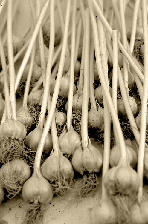 garlic with stalks,sepia,verticle