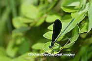 06014-001.15 Ebony Jewelwing (Calopteryx maculata) male, Lawrence Co. IL