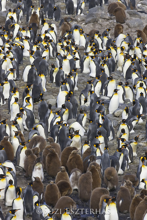 King Penguin<br /> Aptenodytes patagonicus<br /> Adults and brown chicks within colony<br /> Saint Andrews Bay, South Georgia