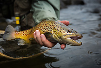 an angler releases a fly caught brown trout from the Clyde River in the Northeast Kingdom, Vermont