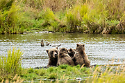 A Brown Bear family composed of a sow called #402 and her three cubs sleep on the bank of the lower Brooks River lagoon near Brooks Camp in Katmai National Park and Preserve September 16, 2019 near King Salmon, Alaska. The park spans the worlds largest salmon run with nearly 62 million salmon migrating through the streams which feeds some of the largest bears in the world.