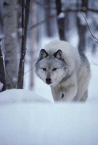 Gray Wolf, (Canis lupus) walking along Snowy trail through timber. Mid winter. Captive Animal.