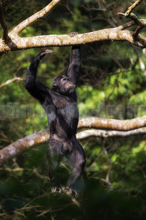 Chimpanzee swinging in a tree in Nyungwe, Rwanda   Sjimpanse som svinger seg i et tre i Nyungwe i Rwanda.