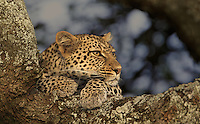 Male leopard (Panthera pardus) lounging in a tree at sunset, Serengeti