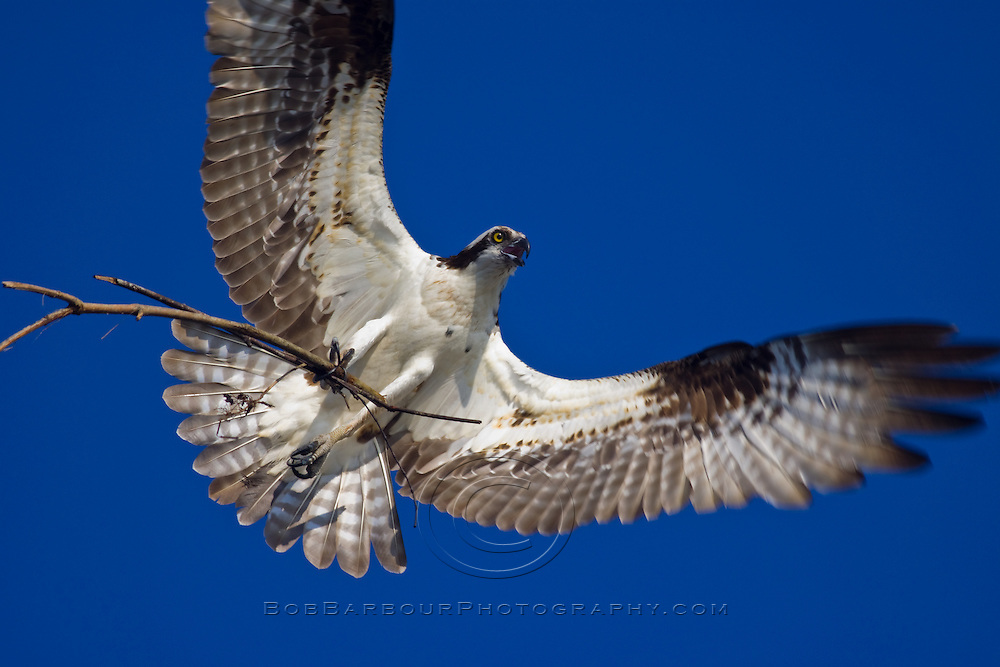 Osprey, Pandion haliaetus, in flight with branch for building nest