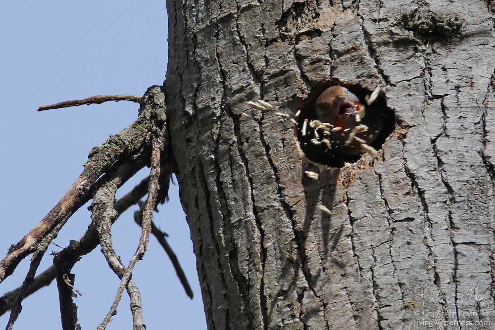 A male red-shafted northern flicker (Colaptes auratus) builds a nest in a snag in the Washington Park Arboretum, Seattle, Washington. The red-shafted northern flicker, also known as the western flicker, is a type of woodpecker and builds its nest by hollowing out decaying trees. It removes most of the wood chips to form a cavity in the tree, but reserves some wood chips to insulate and cushion its eggs. Unlike other birds, it does not use anything other than the wood chips to build its nest.