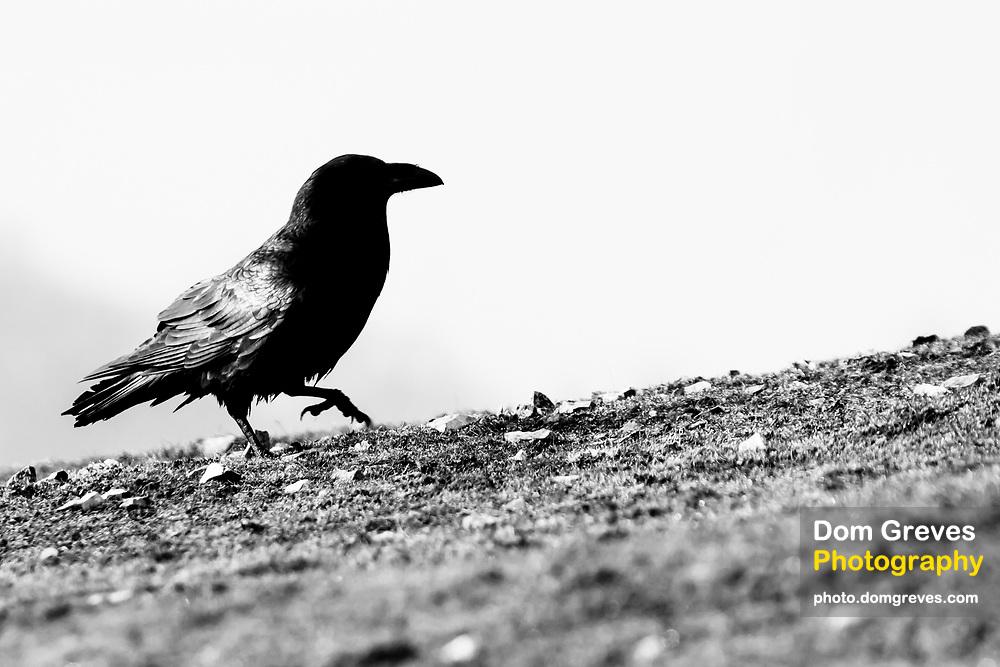 Raven on the hills above Corfe Castle. Dorset, UK.