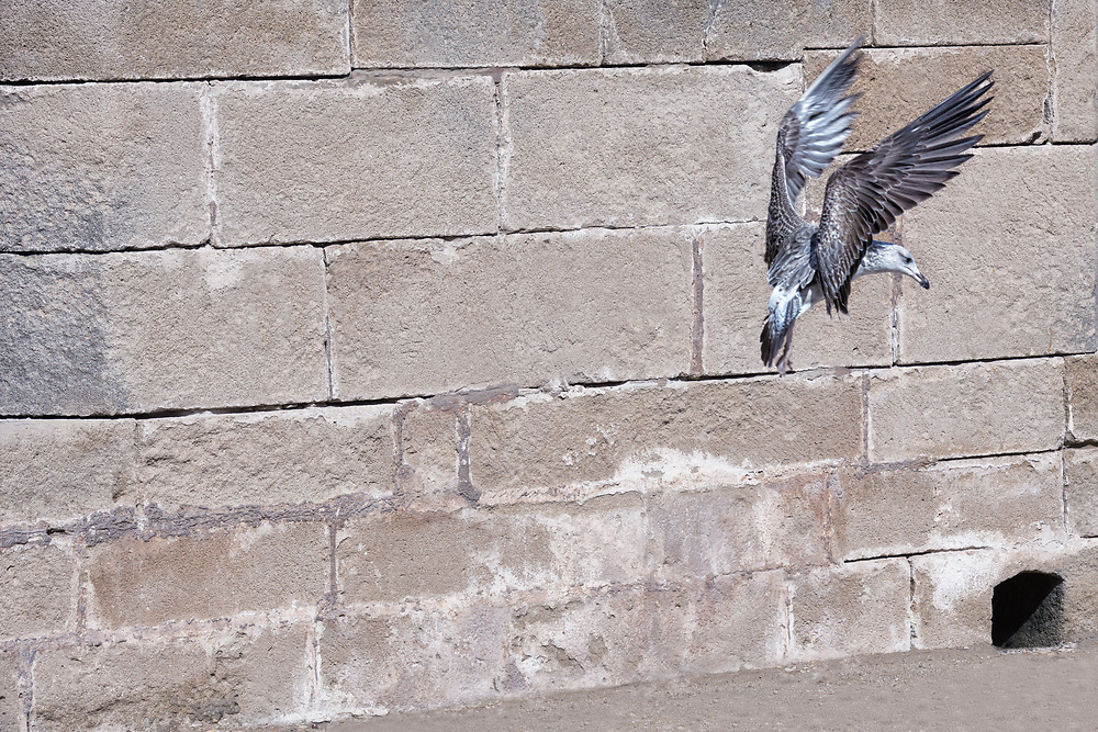 Seagull with spread out wings against a brick wall.
