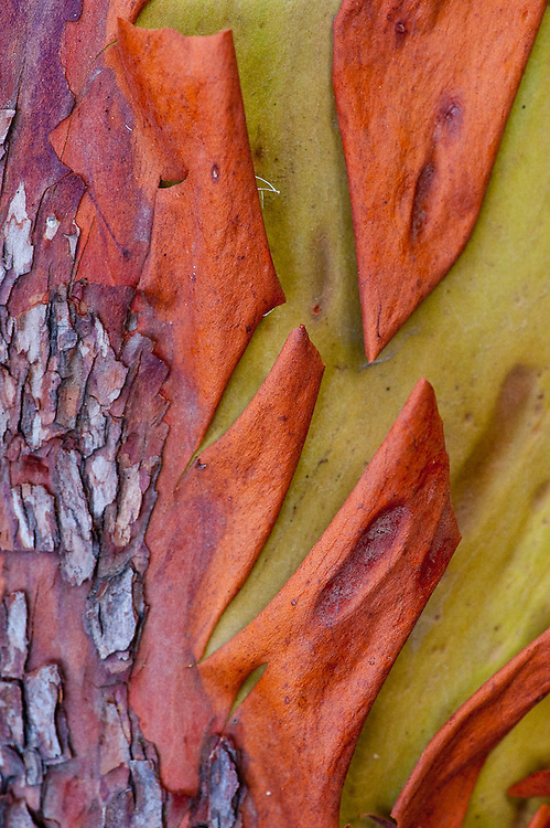 Detail of Madrona tree bark, Coast of California