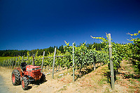 Numerous rows of grape varietals stand ready for harvesting at Cherry Point Vineyards in Cobble Hill. Cowichan Valley, Vancouver Island, British Columbia, Canada.