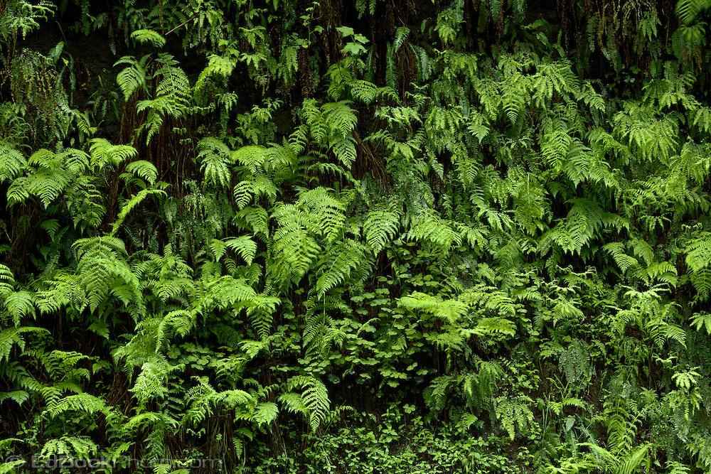 Licorice Fern (Polypodium glycyrrhiza), Maidenhair Fern (Adiantum pedatum), and Oxalis (Oxalis oregana) grow on a moist bank In the Siskiyou National Forest near the northern California coast.