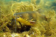 Black Bullhead<br /> <br /> ENGBRETSON UNDERWATER PHOTO