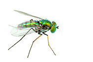 Longlegged Fly (Condostylus sp.)<br /> United States: Alabama: Tuscaloosa Co.<br /> Tulip Tree Springs off Echola Rd.; Elrod<br /> 29-Sep-2017<br /> J.C. Abbott #2995