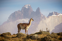 A lone guanaco poses in front of the dramatic mountain backdrop of los cuernos in Torres del Paine, Chile