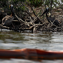 A Brown Pelican stands on a branch near where containment boom is placed along the banks of Cat Island off the coast of Louisiana on Thursday, June 17 2010. Oil from the Deepwater Horizon spill continues to impact areas across the coast of gulf states.