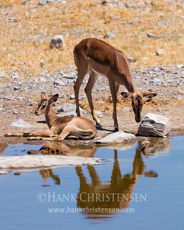 Black-faced impala are reflected in the still water of a waterhold, Etosha National Park, Namibia.