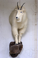 Mounted mammal at Tulane Univeristy's Natural History Museum.