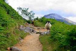 UK SCOTLAND BEN NEVIS 14JUN08 - A black faced sheep stands in the path on the foothills of Ben Nevis in the Scottish Highlands...jre/Photo by Jiri Rezac ..© Jiri Rezac 2008..Contact: +44 (0) 7050 110 417.Mobile:  +44 (0) 7801 337 683.Office:  +44 (0) 20 8968 9635..Email:   jiri@jirirezac.com.Web:    www.jirirezac.com..© All images Jiri Rezac 2008 - All rights reserved.