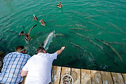 Fischefuettern (Fisch: Tarpon) in Long Key...Florida 2009..Foto © Stefan Falke.