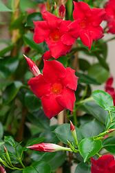Mandevilla 'Hybrid Red'