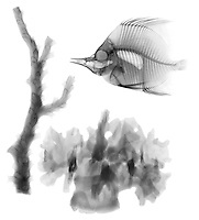 X-ray image of fish and corals (black on white) by Jim Wehtje, specialist in x-ray art and design images.