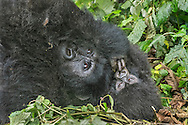 Gorilla mother and 4 month old baby, Volcanoes National Park, Rwanda / Madre gorila y su bebé de 4 meses, Parque Nacional de los Volcanes, Ruanda
