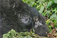 Gorilla mother and 4 month old baby, Volcanoes National Park, Rwanda / Madre gorila y su bebé de 4 meses, Parque Nacional de los Volcanes, Ruanda