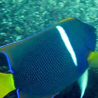 South America, Ecuador, Galapagos, Floreana. King Angelfish.