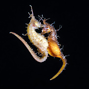 This is a pair of Korean seahorses (Hippocampus haema) engaged in spawning. The lighter-colored female on the left is depositing eggs into the brooding pouch of the male (right, looking toward the camera). The male's pouch is swollen and distended to make room for the eggs, which he fertilizes once they are deposited. The male broods the eggs for three to ten weeks. After hatching the juveniles, the male engages in courtship with the female and mates again throughout the spring and summer breeding season. Pair bonds are reasonably consistent, though there seems to be some mixing that takes place. Described in 2017, this species is found in the waters of Korea, as well as along the southern and western coasts of Japan.