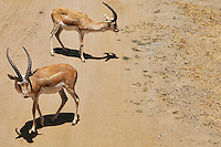 Junior Spiral-Horned Antelope