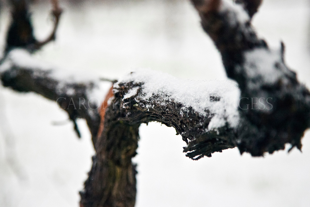 snow covered grapevine. Howell Mountain, Napa Valley.