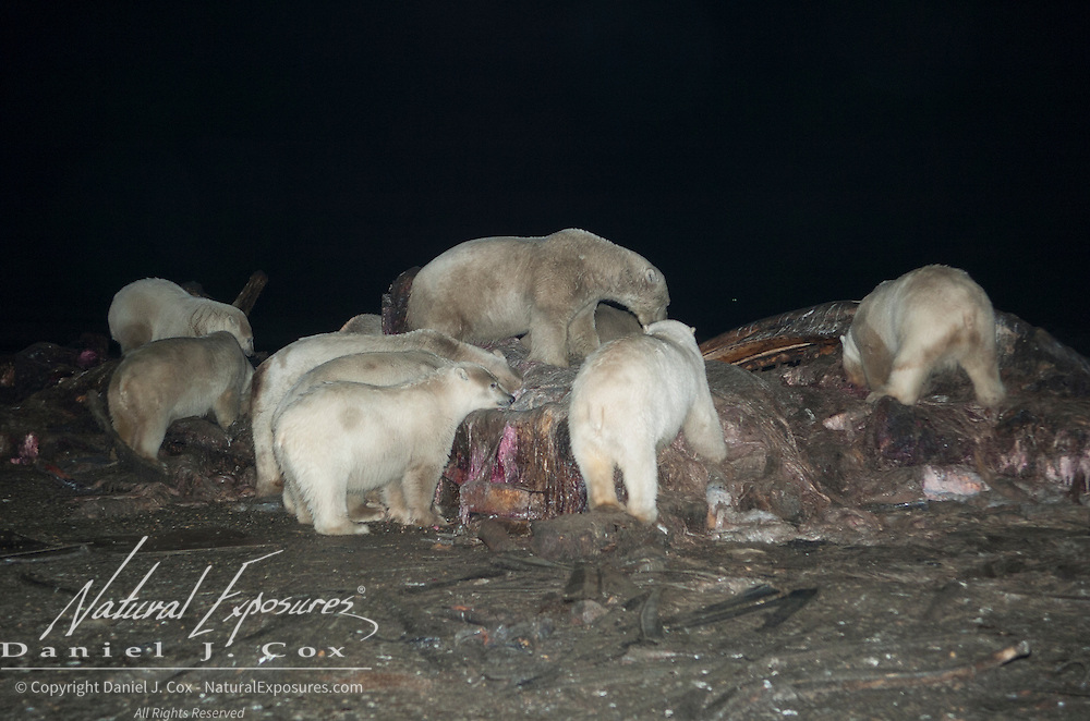 Polar bears (Ursus maritimus) feeding on the carcass of a bowhead whale.(Balaena mysticetus). Kaktovik, Alaska
