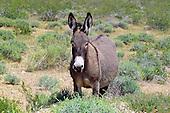 Burro (Feral Donkey) / Equus africanus asinus
