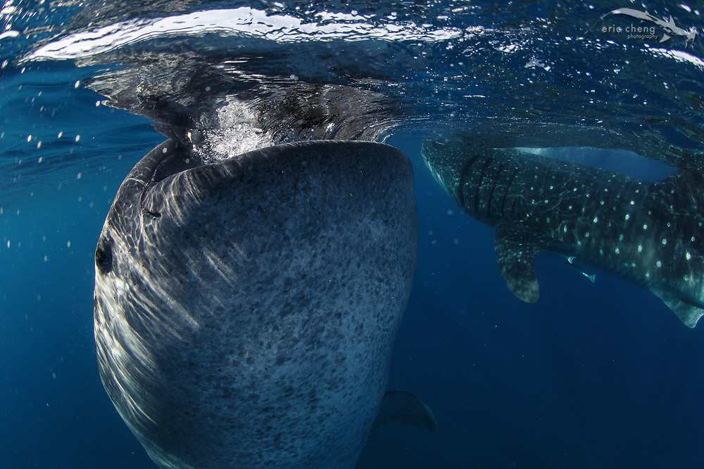 """A """"botella"""" is a whale shark (Rhincodon typus) that has gone vertical at the surface, where it sits, stationary, gulping plankton and air. Shot in Isla Mujeres, Mexico."""