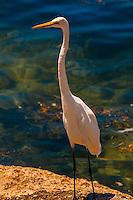 Egret, Bahia Honda State Park, Big Pine Key, Florida Keys, Florida USA
