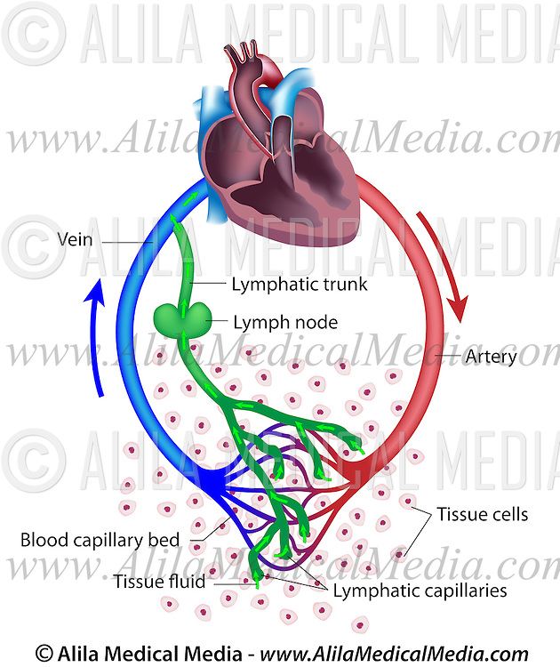 Fluid exchange between the circulatory and the lymphatic systems lymphatic drainage returns tissue fluid lost by blood circulation to the bloodstream after filtering it in ccuart Image collections