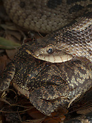 Hog-nosed snake popping a southern toad with a built in tooth (fang) inside is jaw.  The toad inflated as a defense mechanism,
