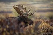 Shiras Bull Moose