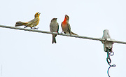 INDUSTRIAL ROMANCE | Yellow and red male house finches (Carpodacus mexicanus) dance to impress a bored teenage female that landed in their industrial neighborhood